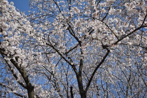 [꾸미기]벚꽃.jpg